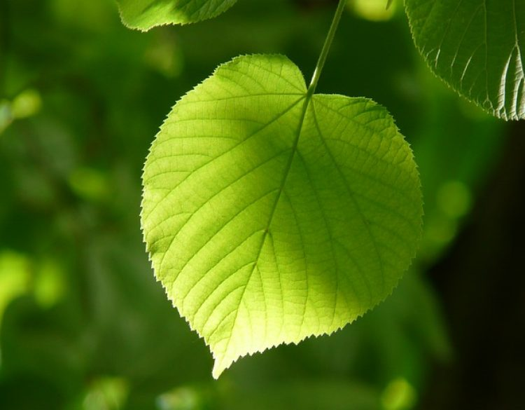 lindenblatt_leaf-55859_640
