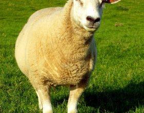 s Schouf (das schlaue Schaf)