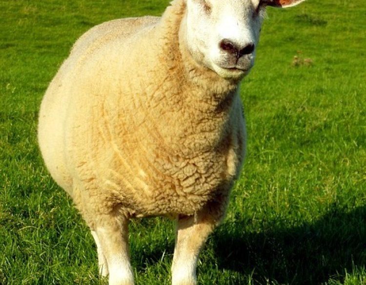 schaf_sheep-1644843_640